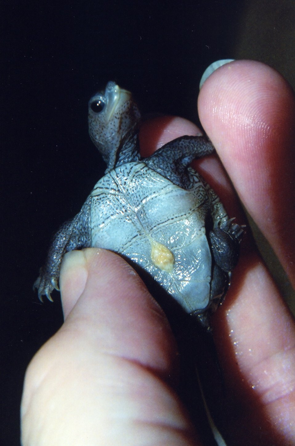 Newly hatched diamondback terrapin with egg sac and egg tooth.