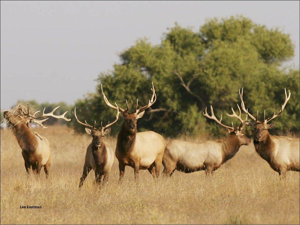 Tule Elk San Luis NWR Lee Eastman USFWS