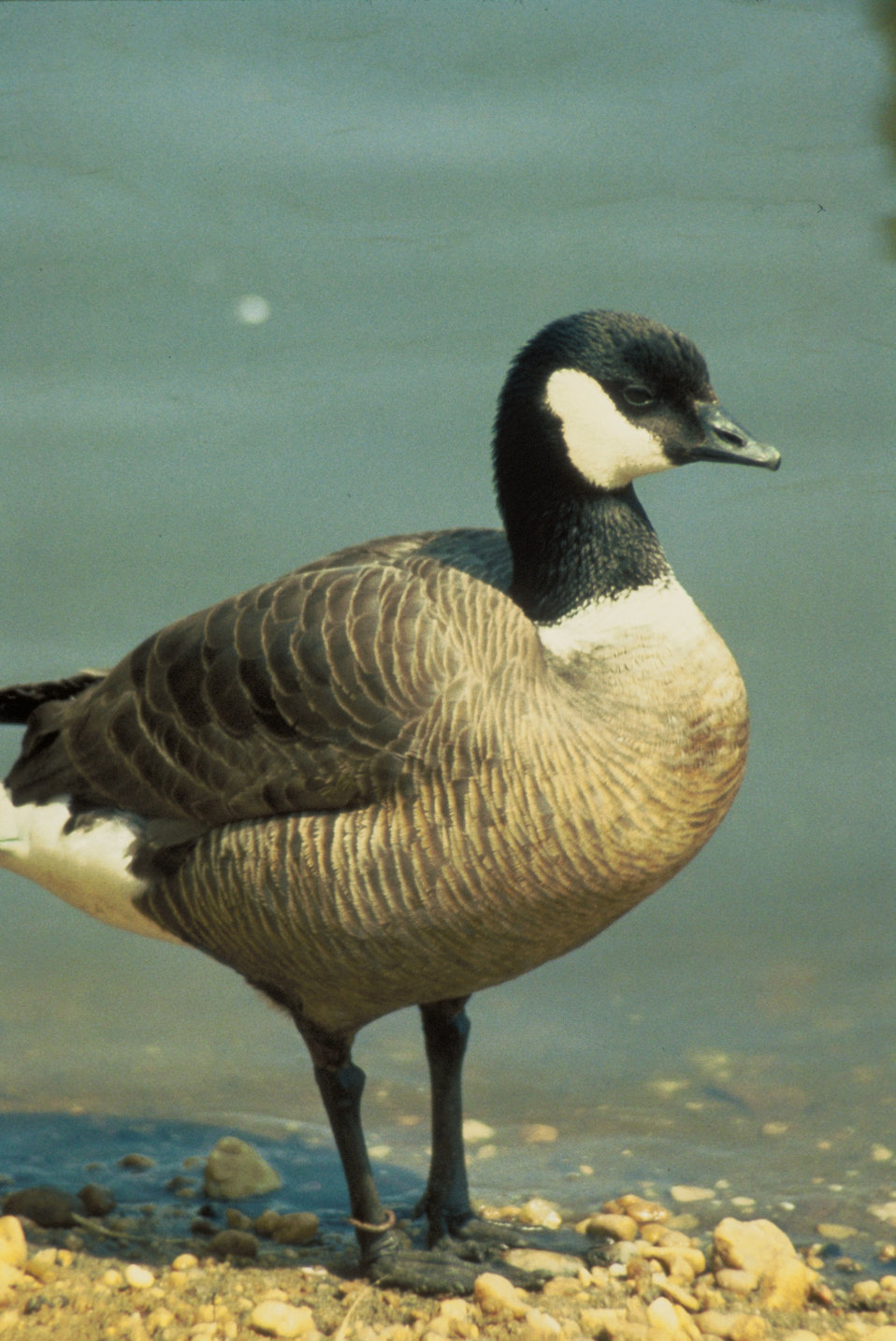 Goose Aleutian