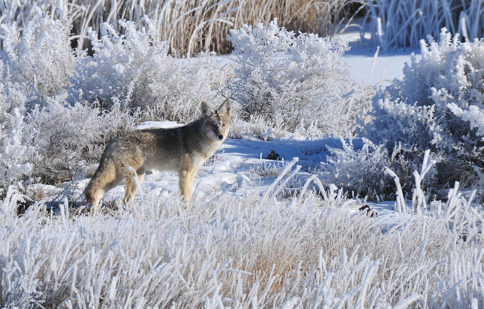 Coyote in hoar frost on Seedskadee NWR