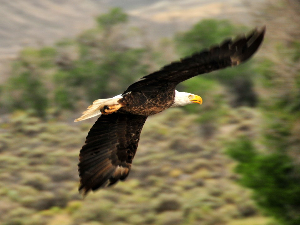 Bald Eagle Soaring on Seedskadee NWR