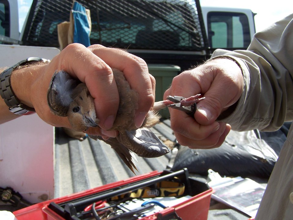 Banding of a Mourning Dove