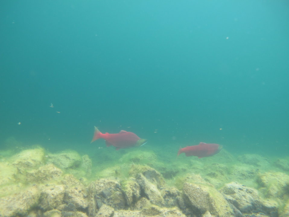 Sockeye pair in Hidden Lake, Alaska