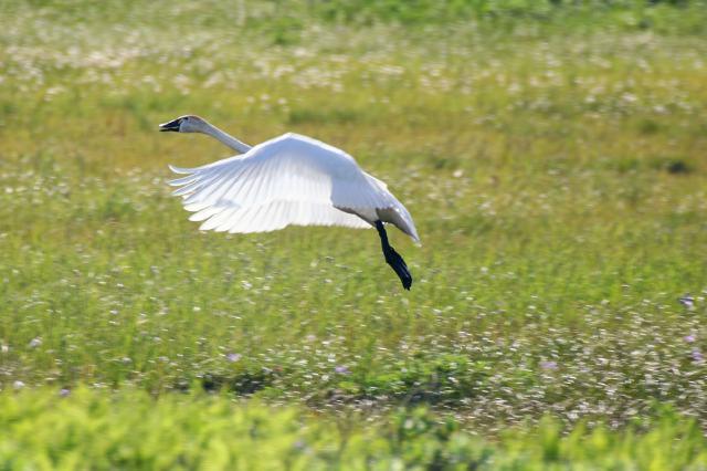 Trumpeter swan, Alaska Maritime Refuge
