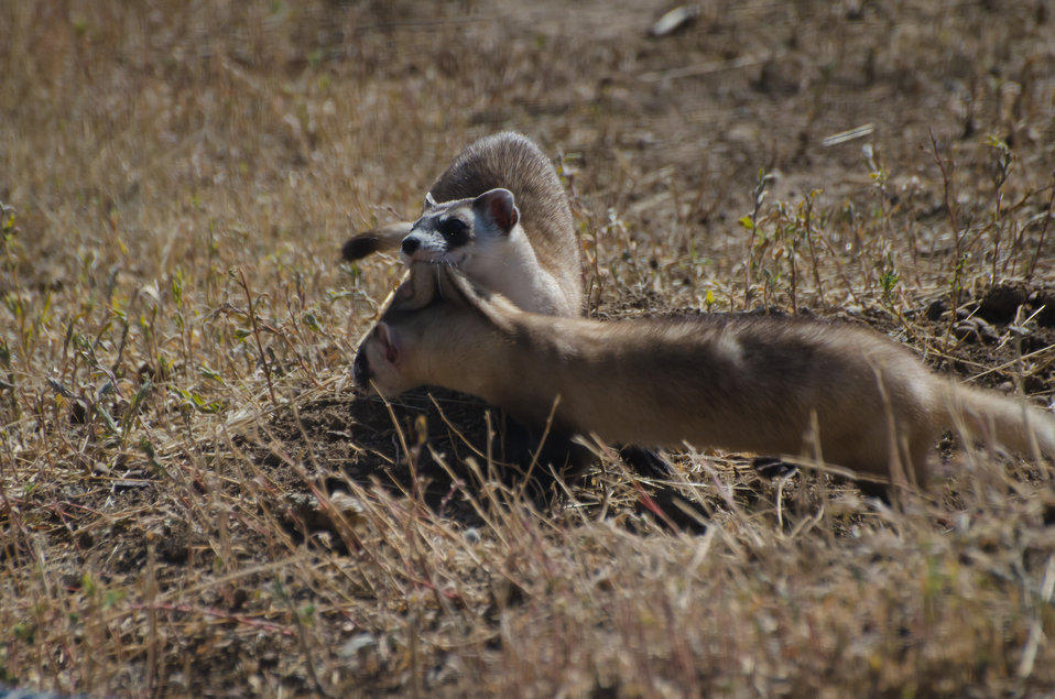 Black-footed Ferret Mother & Kit