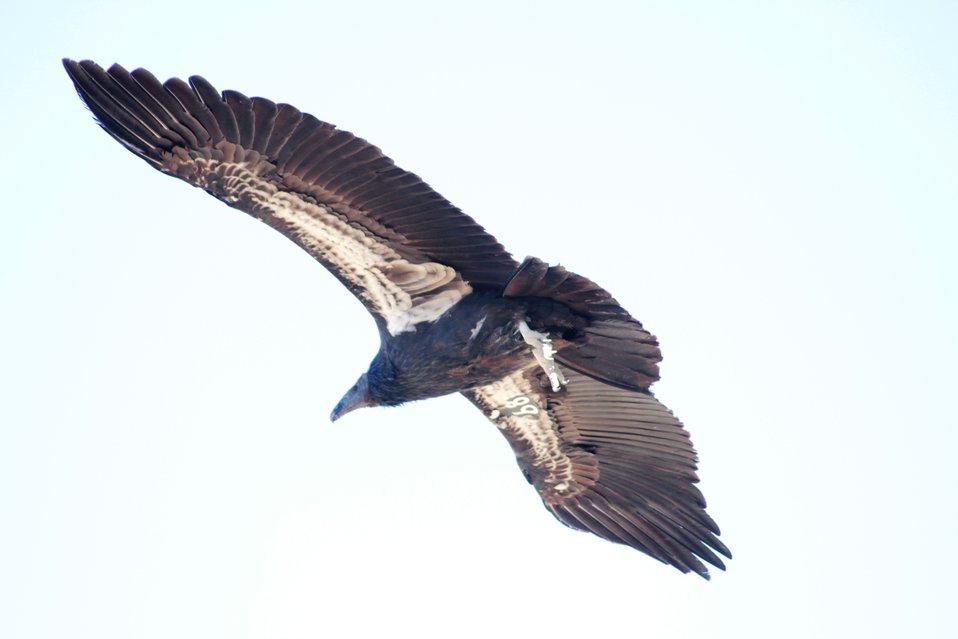 Condor underside