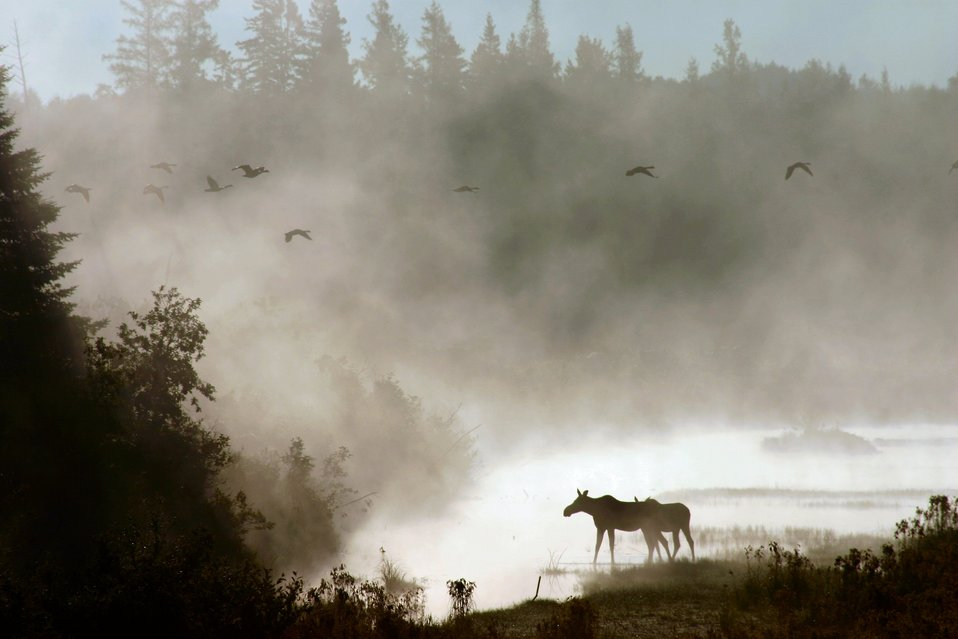 Photo of the Week - Moose in mist (ME)