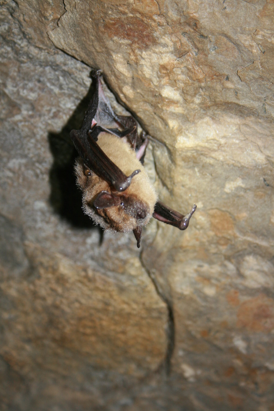 healthy big brown bat