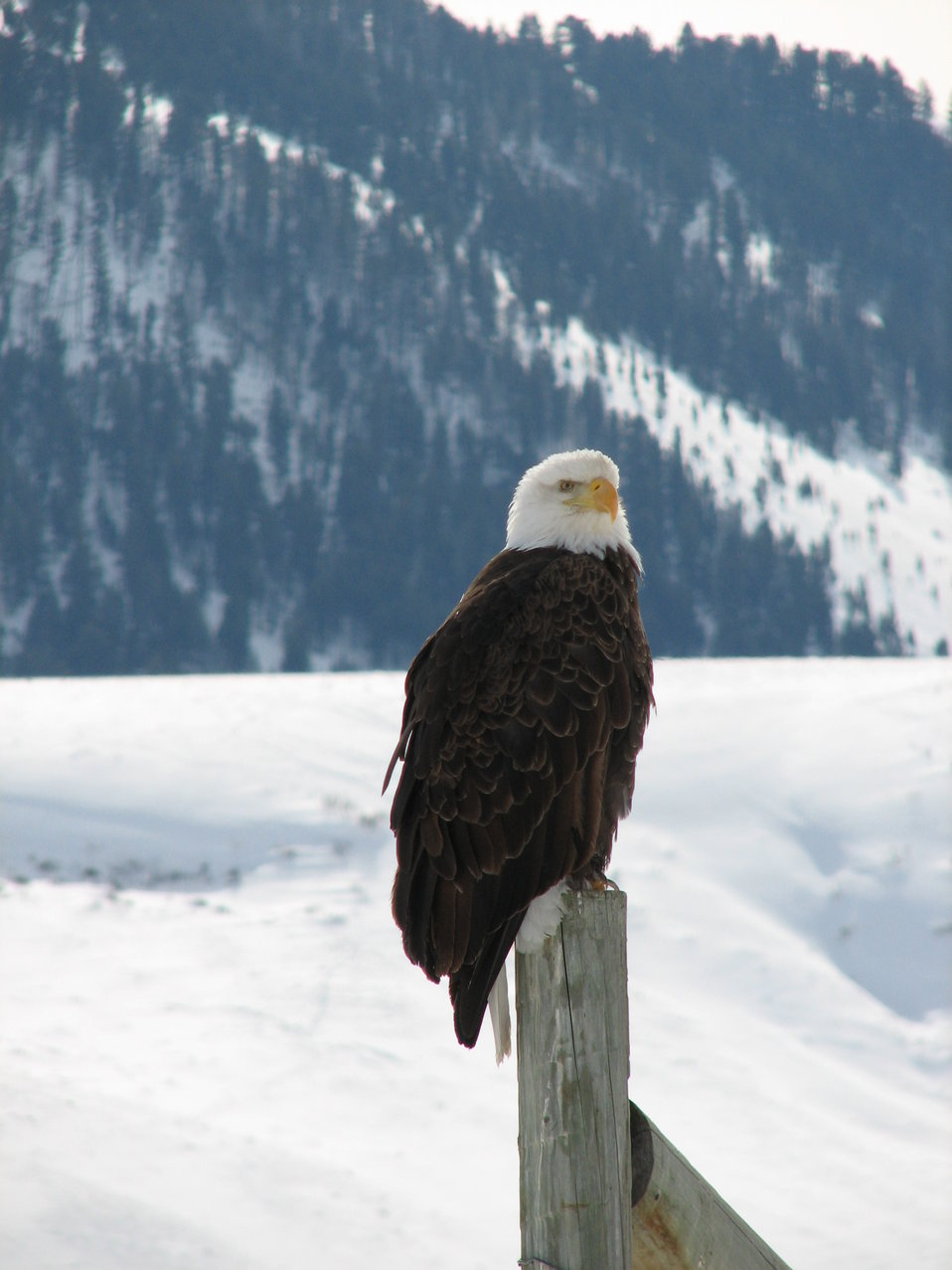 A Watchful Eagle Keeps Post on a Winter Day