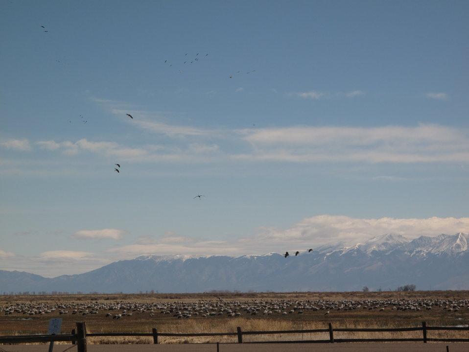Sandhill Cranes at Monte Vista National Wildlife Refuge