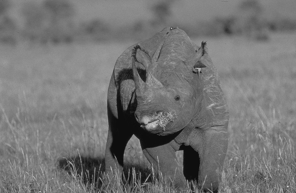 Young male black rhino