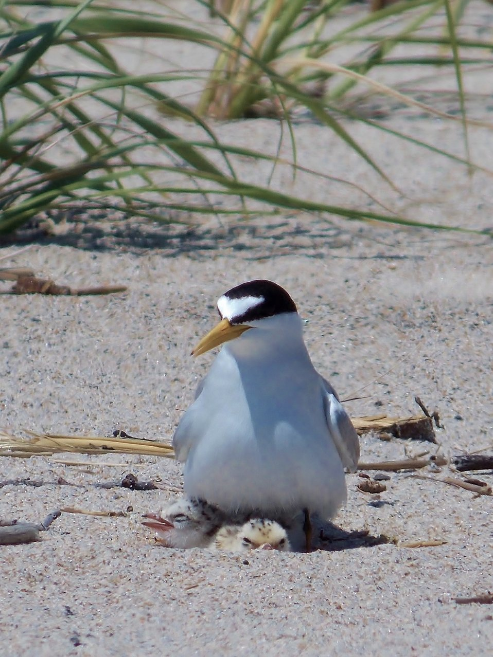 Least Tern with Chicks at Rachel Carson National Wildlife Refuge