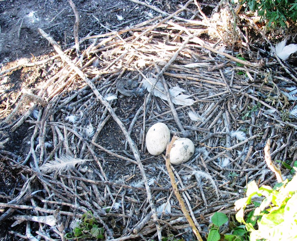 American White Pelican Nest