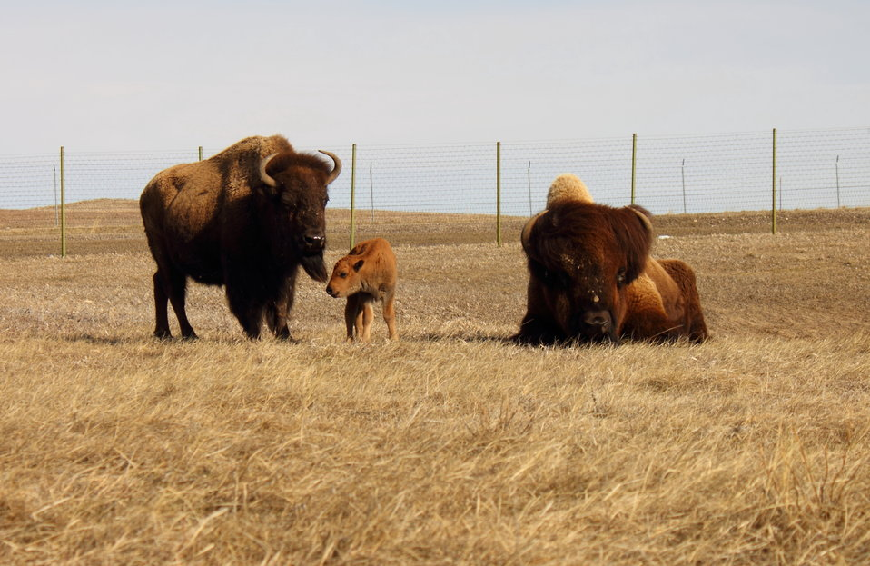 Bison Family on Charles M. Russell National Wildlife Refuge