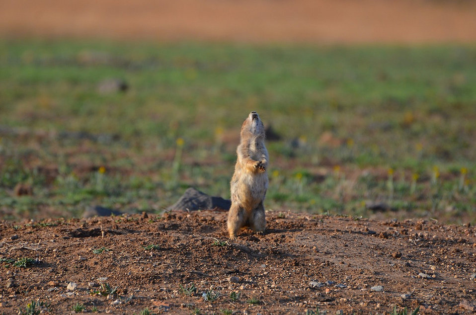 prairie dog sentry