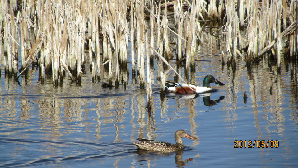 Northern Shoveler Hen and Drake