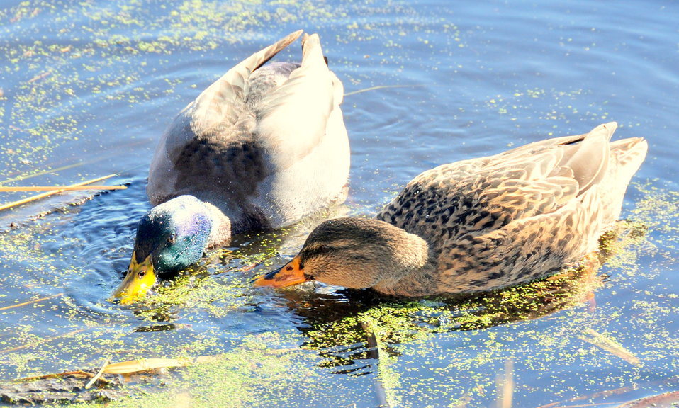 Mallard pair feeding on Duckweed 01