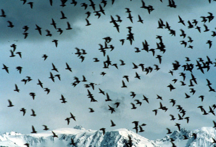 Shorebird flock, Kachemak Bay Shorebird Festival, Homer