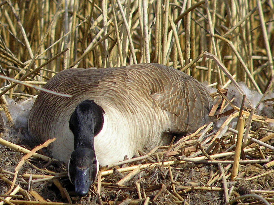 Canada goose nesting on muskrat house Lacreek NWR