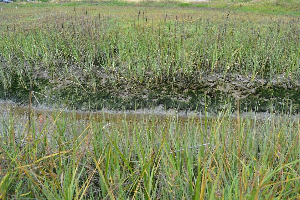 California Cordgrass (Spartina foliosa)horizon