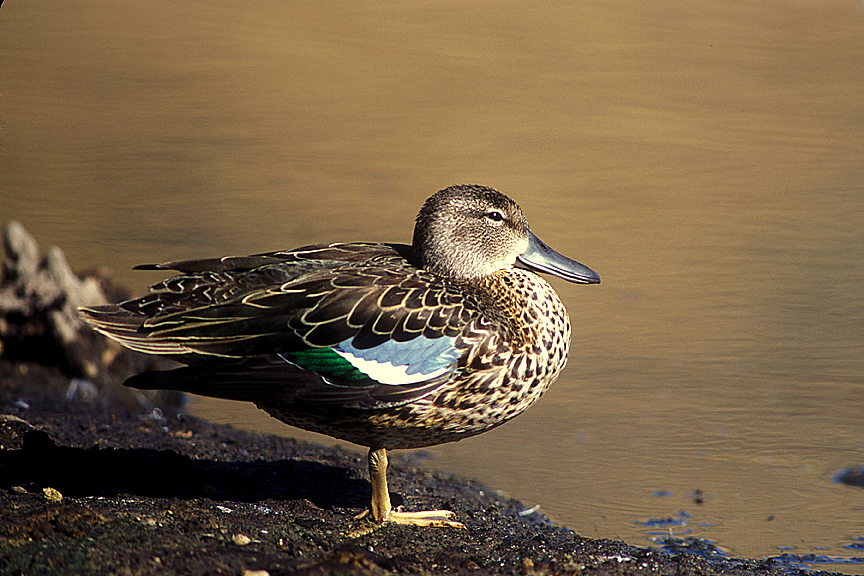 Cinnamon Teal (female)