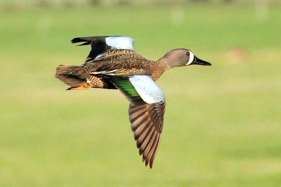 Blue-winged teal drake in flight Lacreek NWR