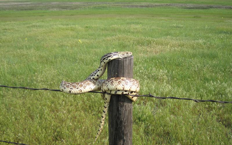Sunbathing Bull Snake