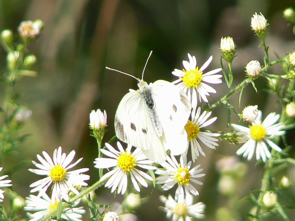 cabbage white butterfly on frost aster