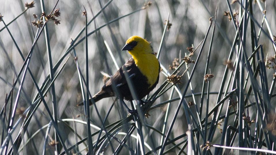 Yellow-headed BlackBird, Medicine Lake NWR