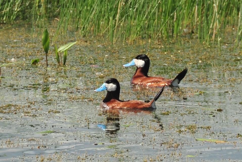 Ruddy Duck drakes Sand Lake National Wildlife Refuge