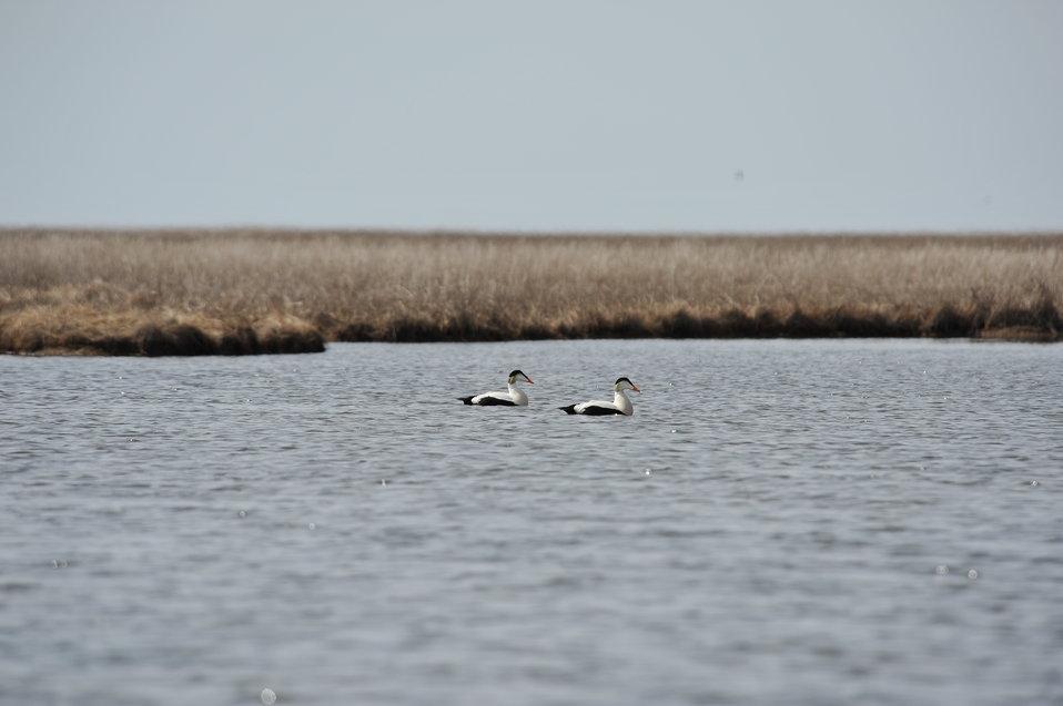 Common Eider males swimming