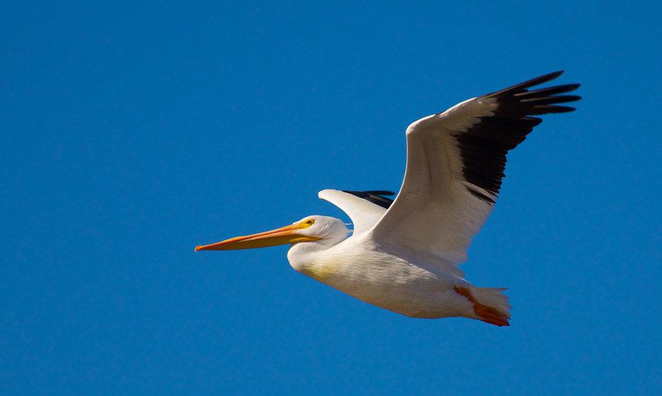 Adult American white pelican in flight