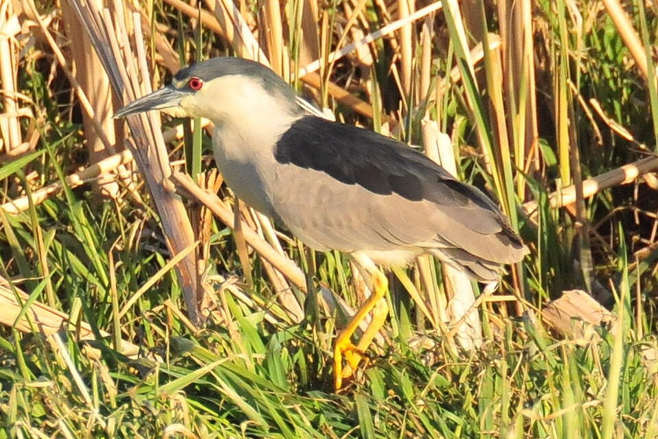 Black-Crowned Night-Heron on Lacreek NWR