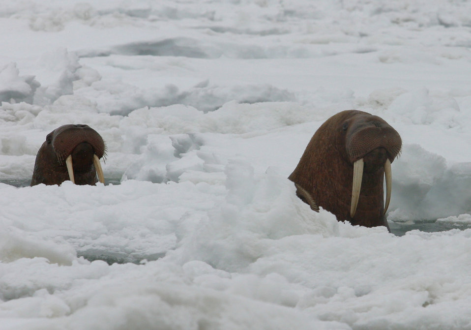 Pacific Walrus Surfacing Through Ice