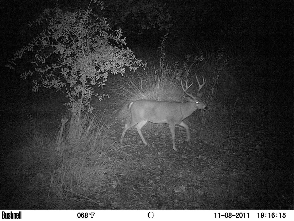 black-tailed buck by night