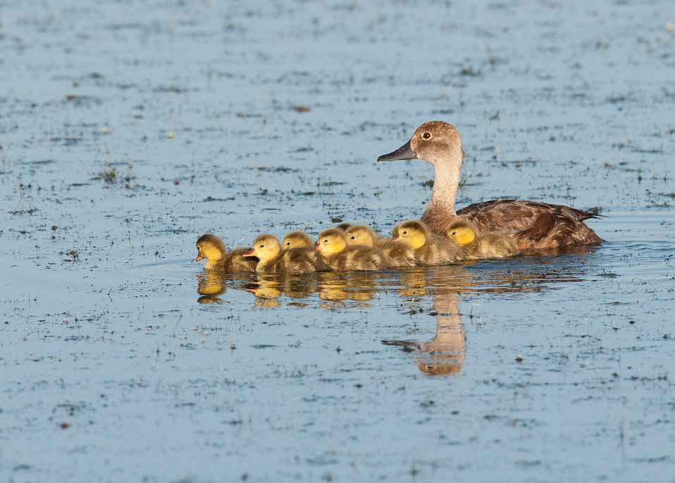 A Readhead Hen Swimming with her Babies