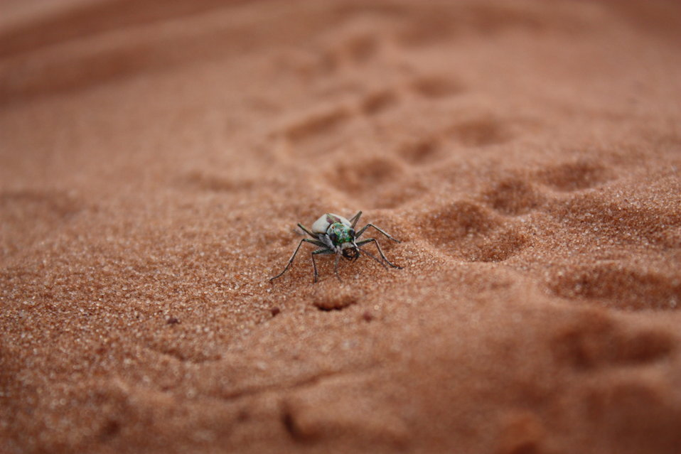 Coral Pink Sand Dune Tiger Beetle