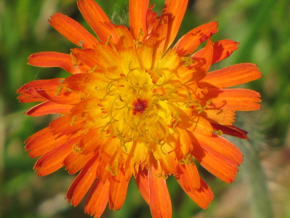 Orange Hawkeye