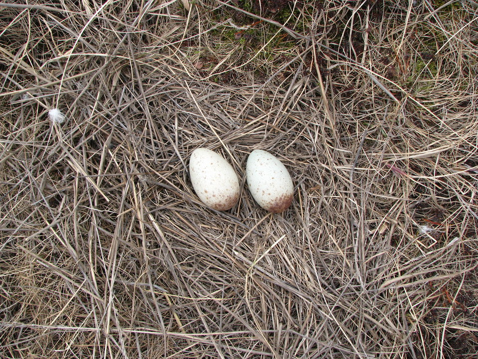 Crane nest with eggs