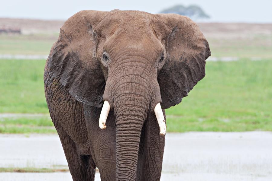 elephant bull amboseli-JoeMilmoeUSFWS