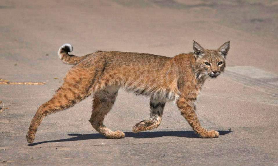 Bobcat at Sonny Bono NWR-5