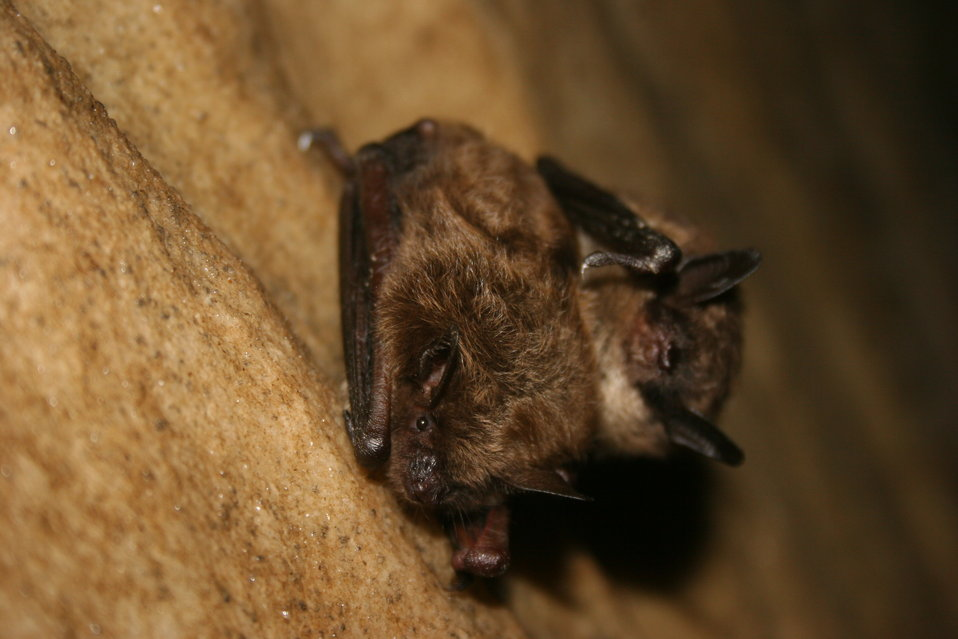 Healthy little brown bats
