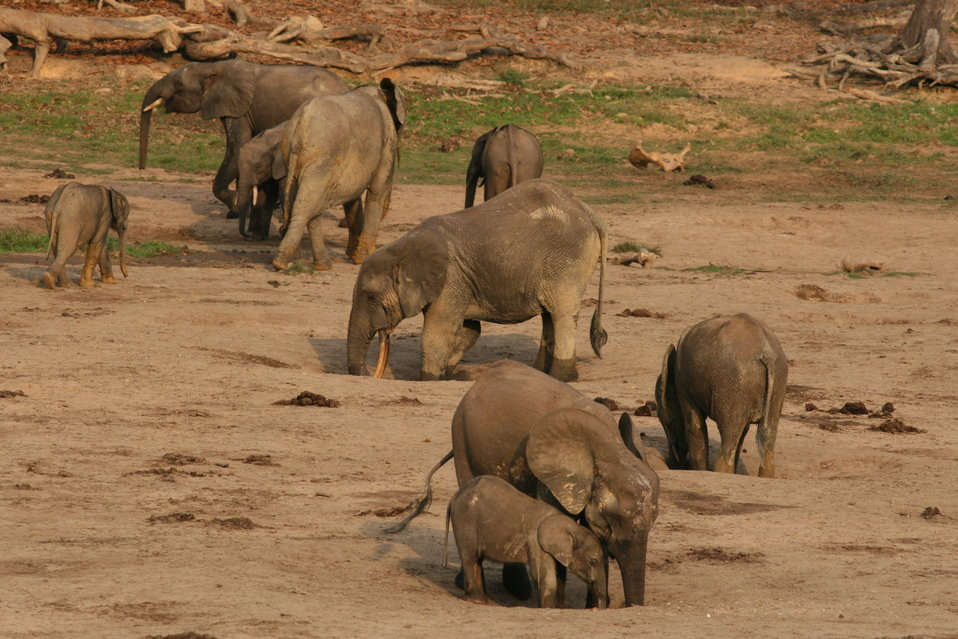 Forest elephant group 2