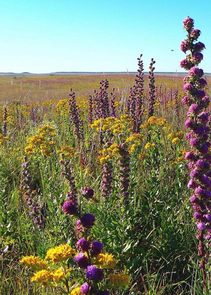 tallgrass prairie flowers
