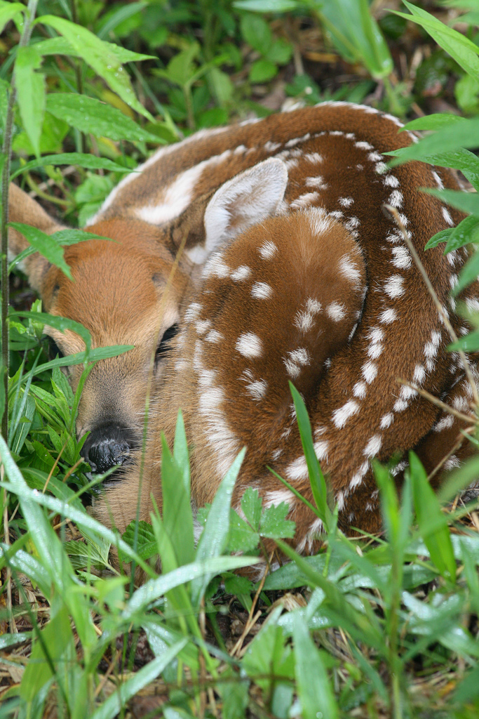 Speckled Fawn
