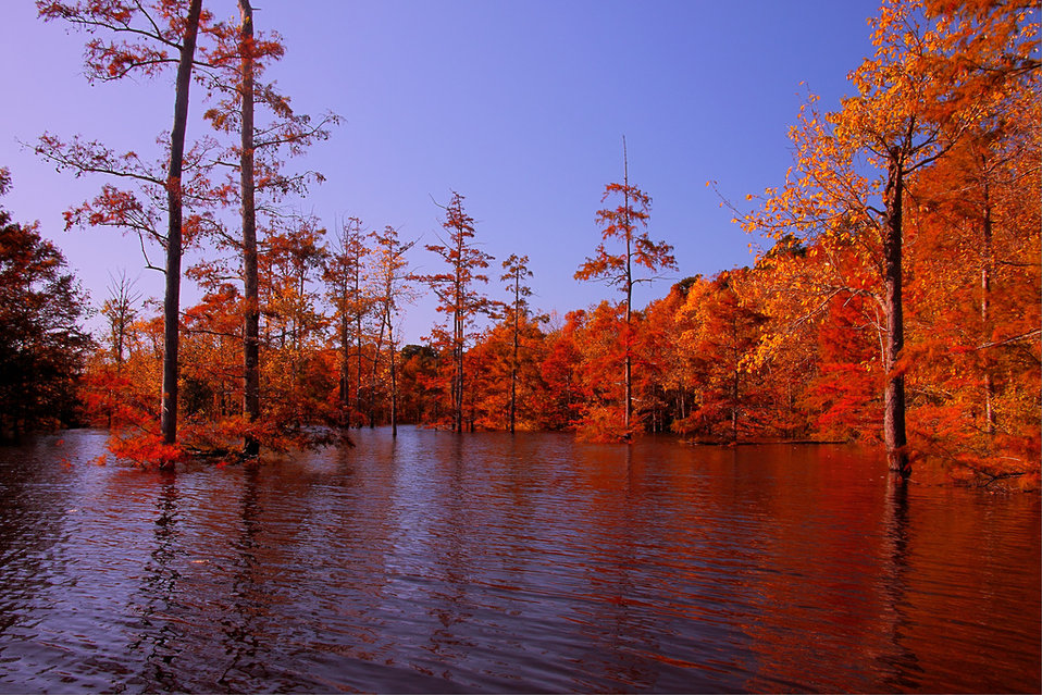 cypress in fall foliage