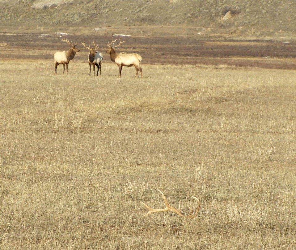 Elk Antler Mystery