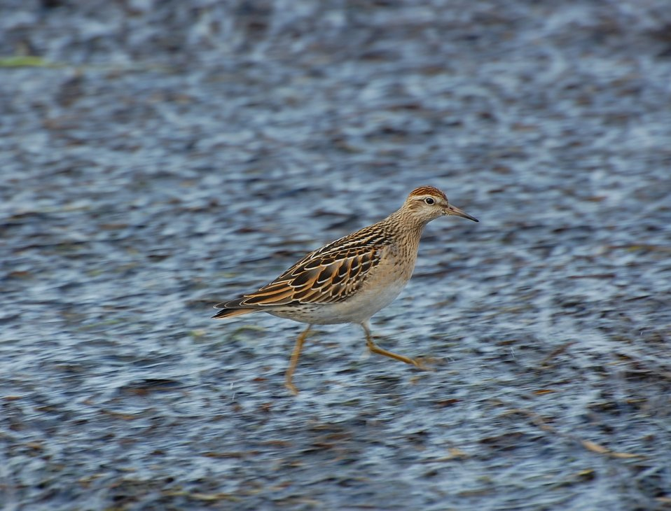 Juvenile Sharp-tailed Sandpiper