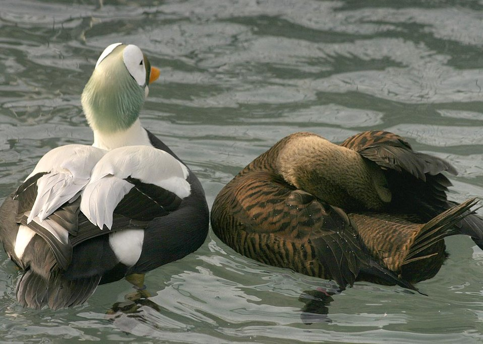 Threatened spectacled eider male and female (Somateria fischeri), Alaska SeaLife Center, Seward, Alaska