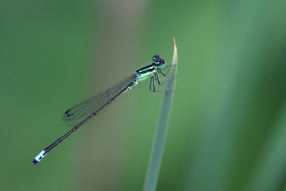 Photo of the Week - Eastern Forktail (ME)